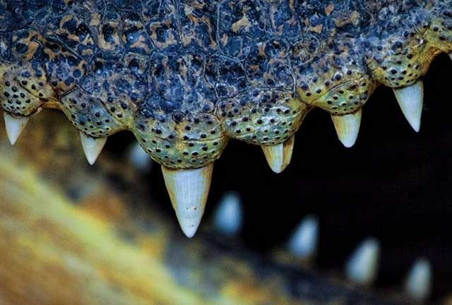 Crocodilo morde braço de domador durante espetáculo circense