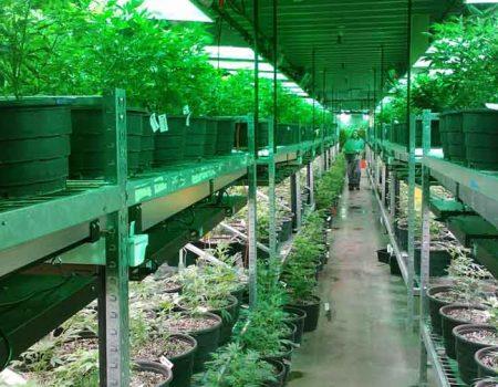 Reino Unido libera uso de cannabis terapêutica