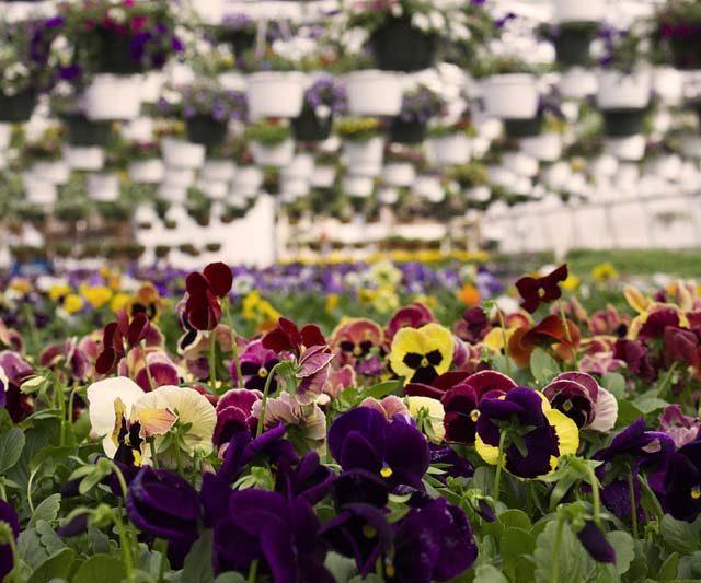 Mesmo com a crise, produção de flores deve crescer 7% neste ano