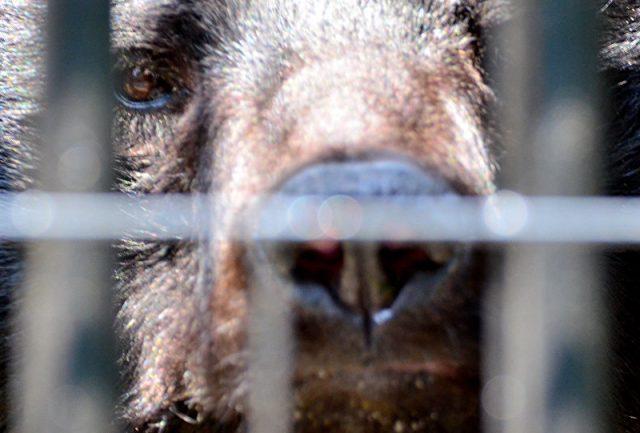 Cuidador morre após ser atacado por urso doméstico no Japão