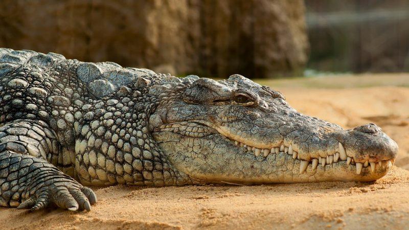Crocodilo enorme invade concessionária de carros no México